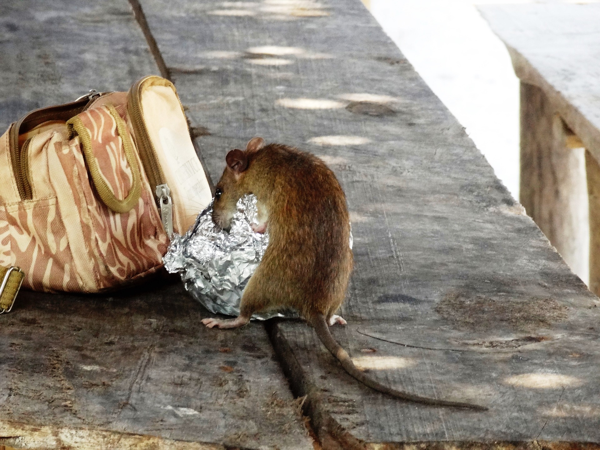 Get help from a professional rat removal service in Canada