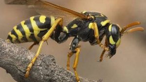 Wasp , bees removal pest control Canada