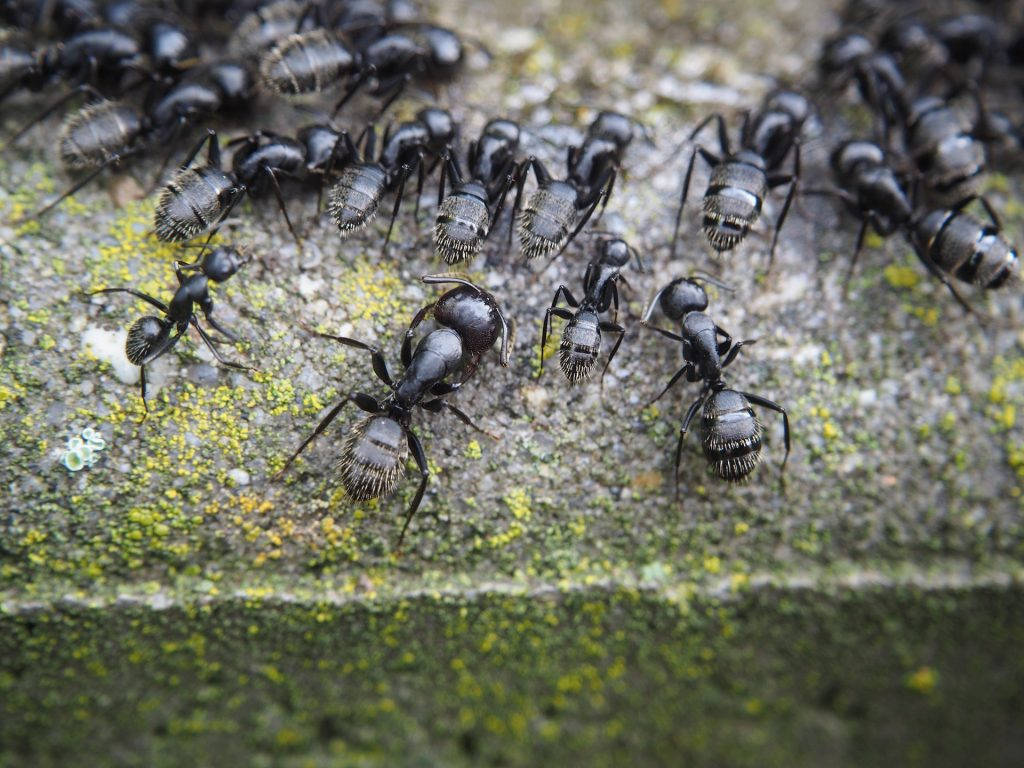 Racoons and ants removal pest control canada