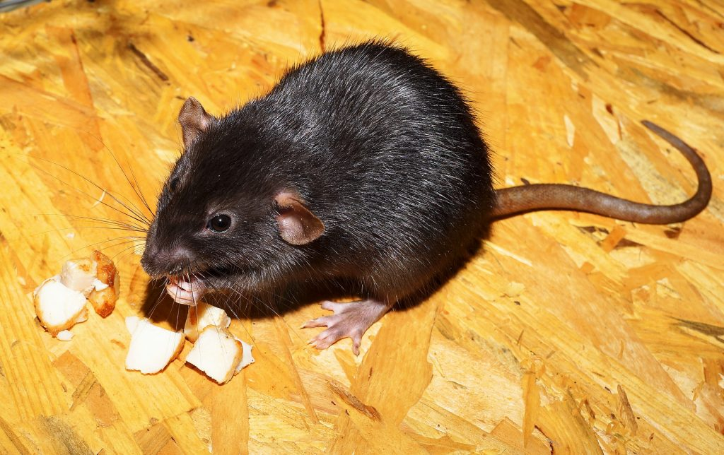 Rat and Mouse Removal Canada
