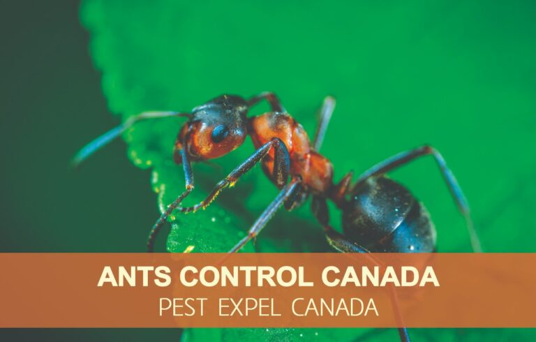 Ants removal in Canada