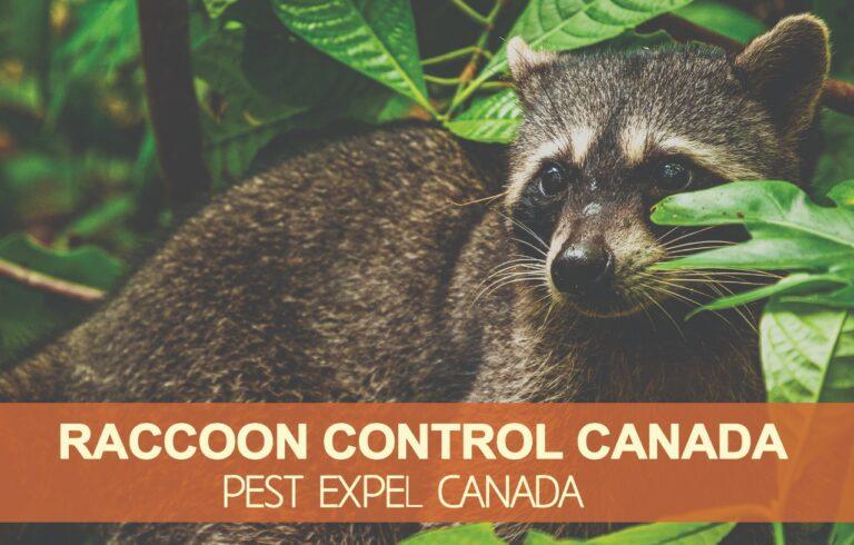 Raccon removal in Canada