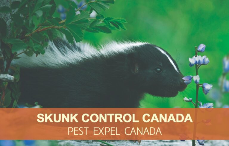 Skunk removal in Canada