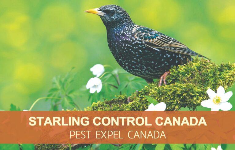 Starling control Canada