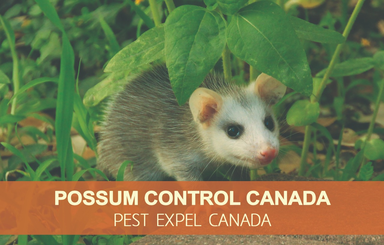 Possum control in Canada